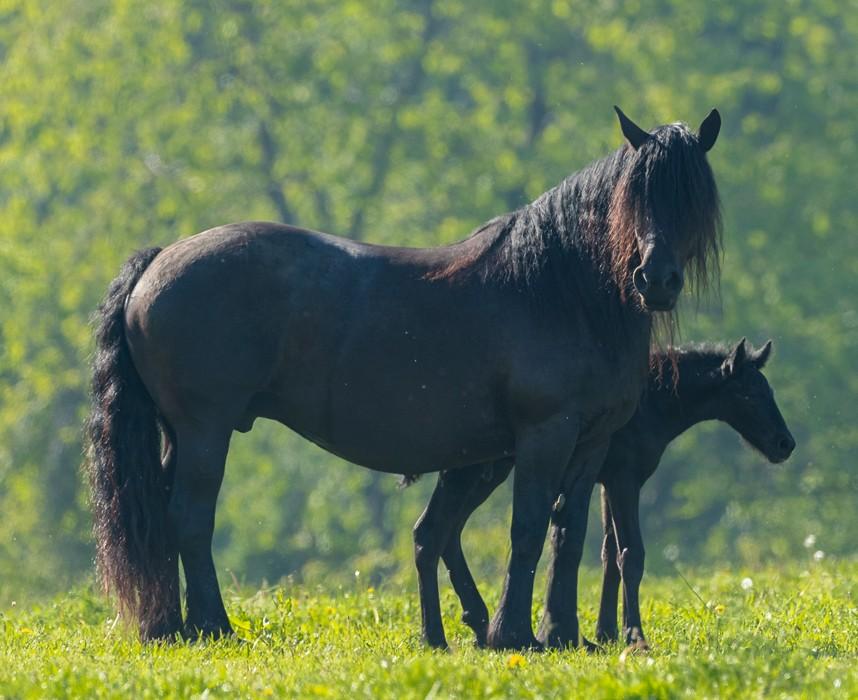 Le Mérens, ce grand poney noir Ooba Ooba
