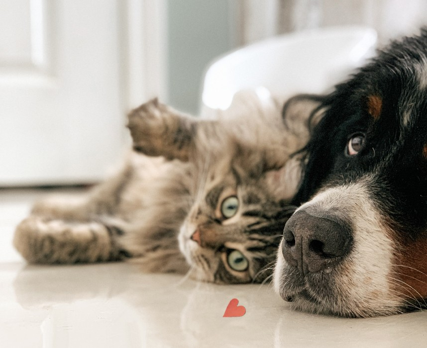 Les animaux de compagnie peuvent-ils transmettre le Covid-19 ?  Ooba Ooba